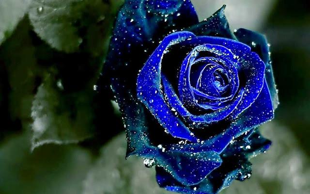 Những hình ảnh đẹp về hoa hồng xanh