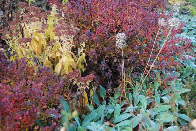 More Sedum 'Autumn Joy' set between some barberry bushes. The silvery lamb's ears (Stachys byzantine) are always nice, even in the winter months. A few Allium tuberosum seed heads are still standing in this garden, along with the coneflower.