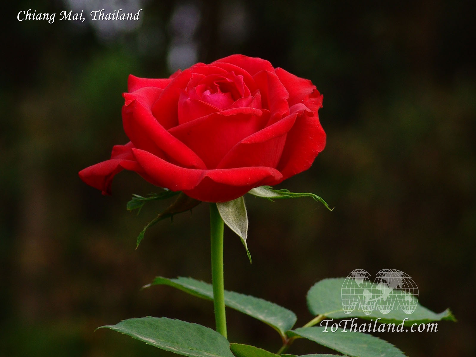 Rose Beauty Red