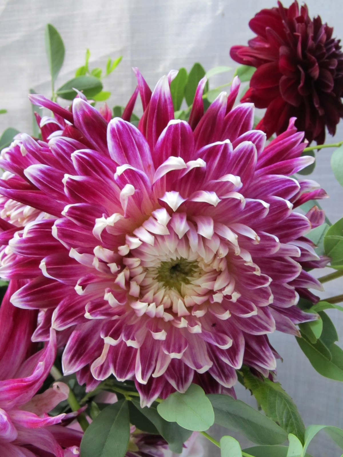 Notes And News From Shady Grove Gardens Dahlias As Cut Flowers