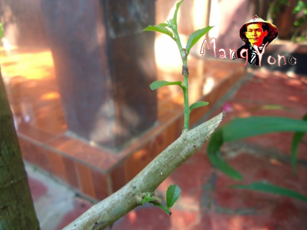 Bakalan Bonsai Serut saya mulai tumbuh tunas dalam minggu ke 4