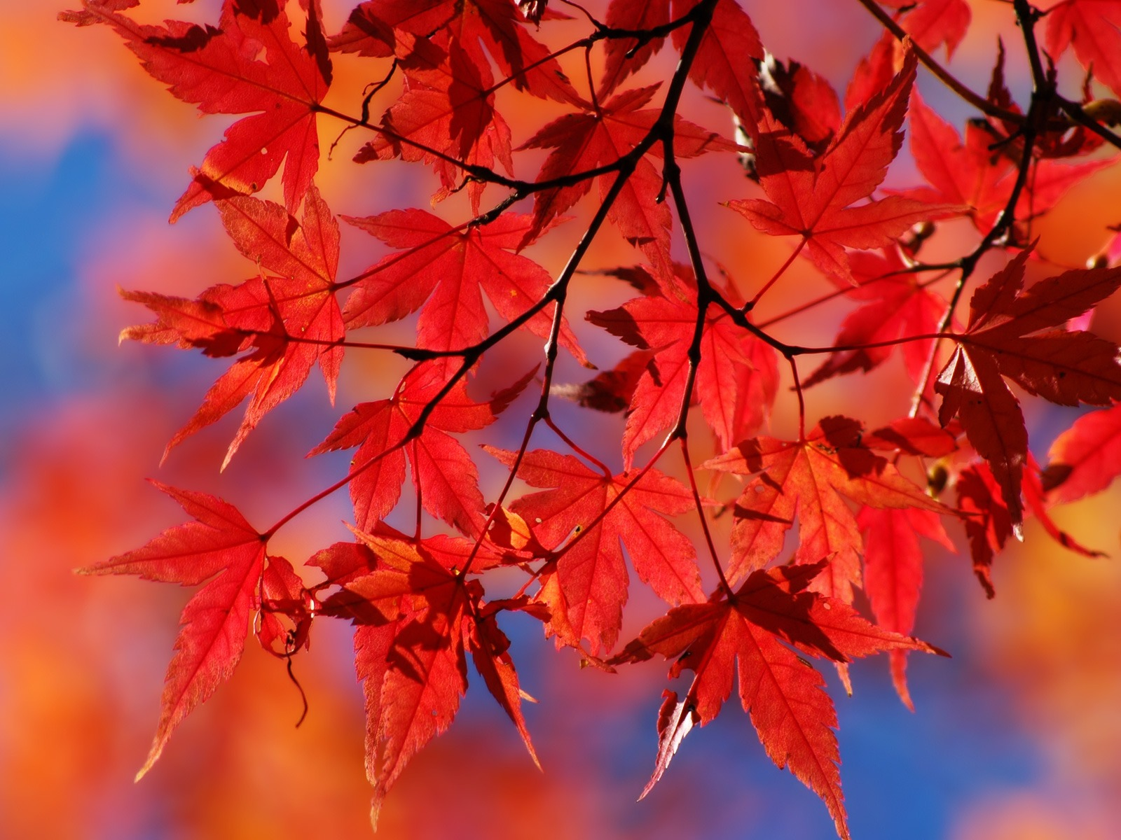 http://1.bp.blogspot.com/-x8N3ug02cm4/Txt3stXNR7I/AAAAAAAAAD8/byUTi3ccctw/s1600/red_autumn_leafs_wallpaper_autumn_nature_wallpaper_1600_1200_1504.jpg