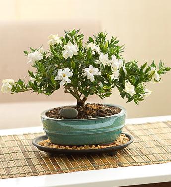 Bonsai | All About Bonsai Trees