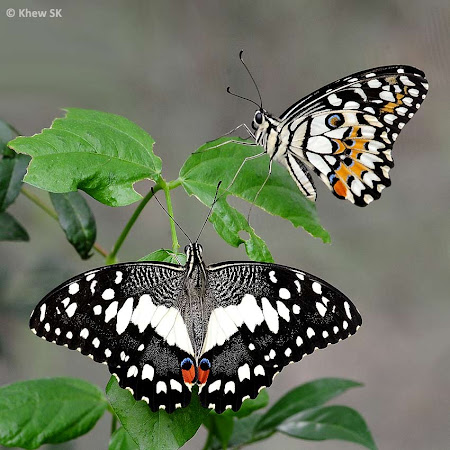 Butterflies of Singapo...