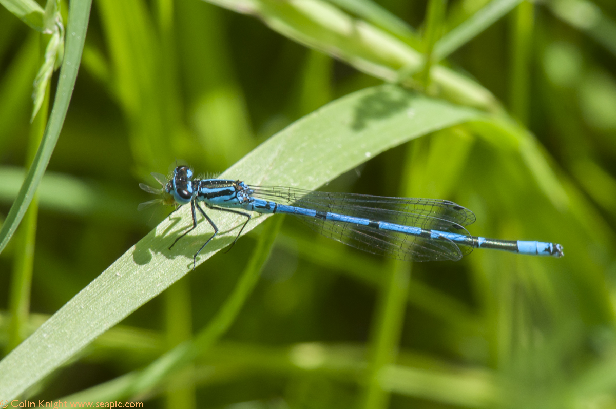 azure damsel flies fly - photo #19
