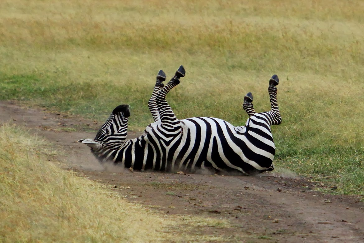 Wildlife photos zebra rolling on the ground