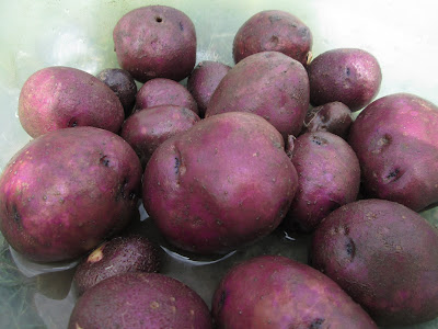 A harvest of Blue Gold potatoes