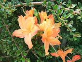 Azalea Orange