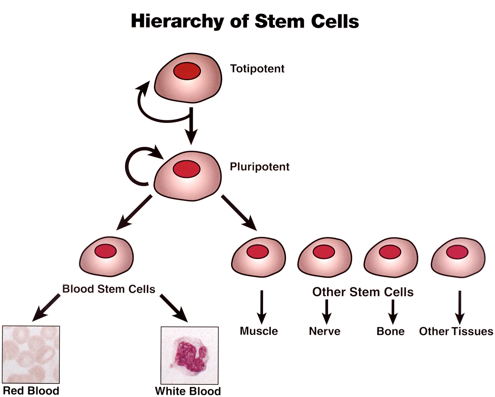 stem cell research developing a cross between Embryonic stem cells have the remarkable ability to develop into any type of cell on their way to become for example a liver or a heart cell, they must repeatedly decide between alternative.