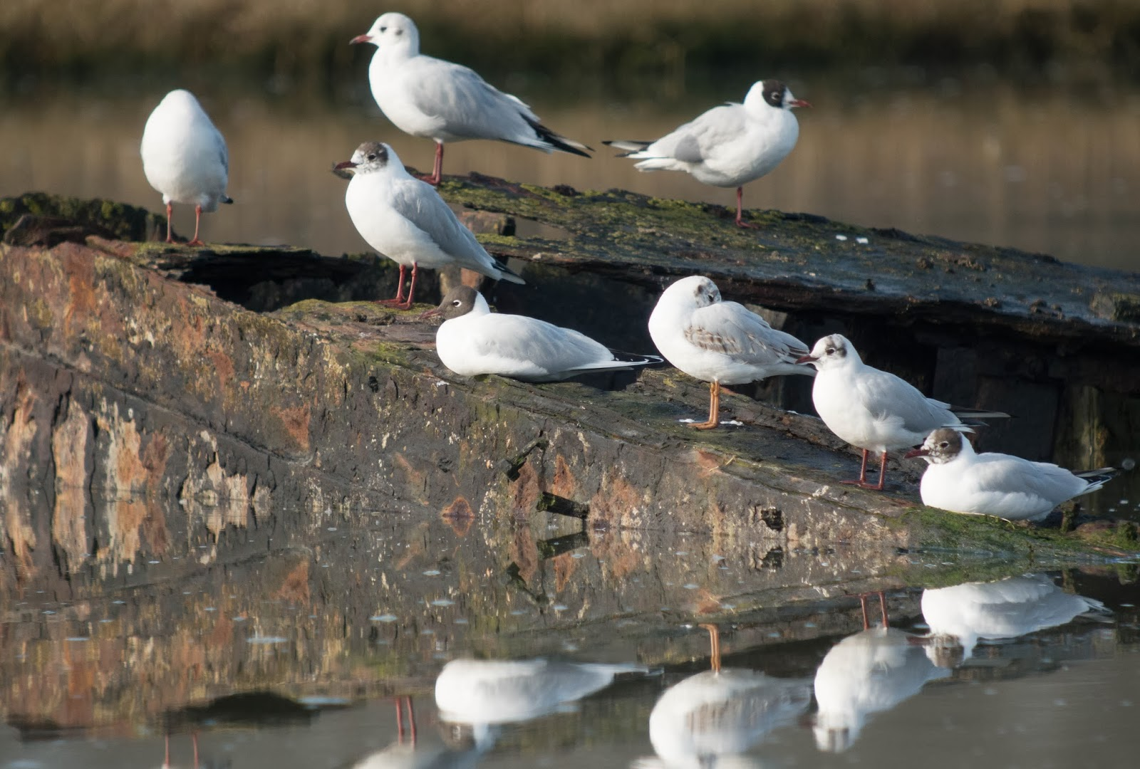 Black-headed Gulls - Simon Colenutt