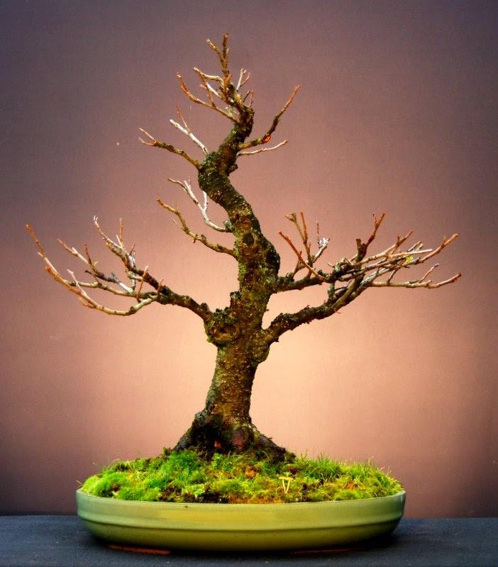 jupp s bonsai blog bevor der frost kommt. Black Bedroom Furniture Sets. Home Design Ideas