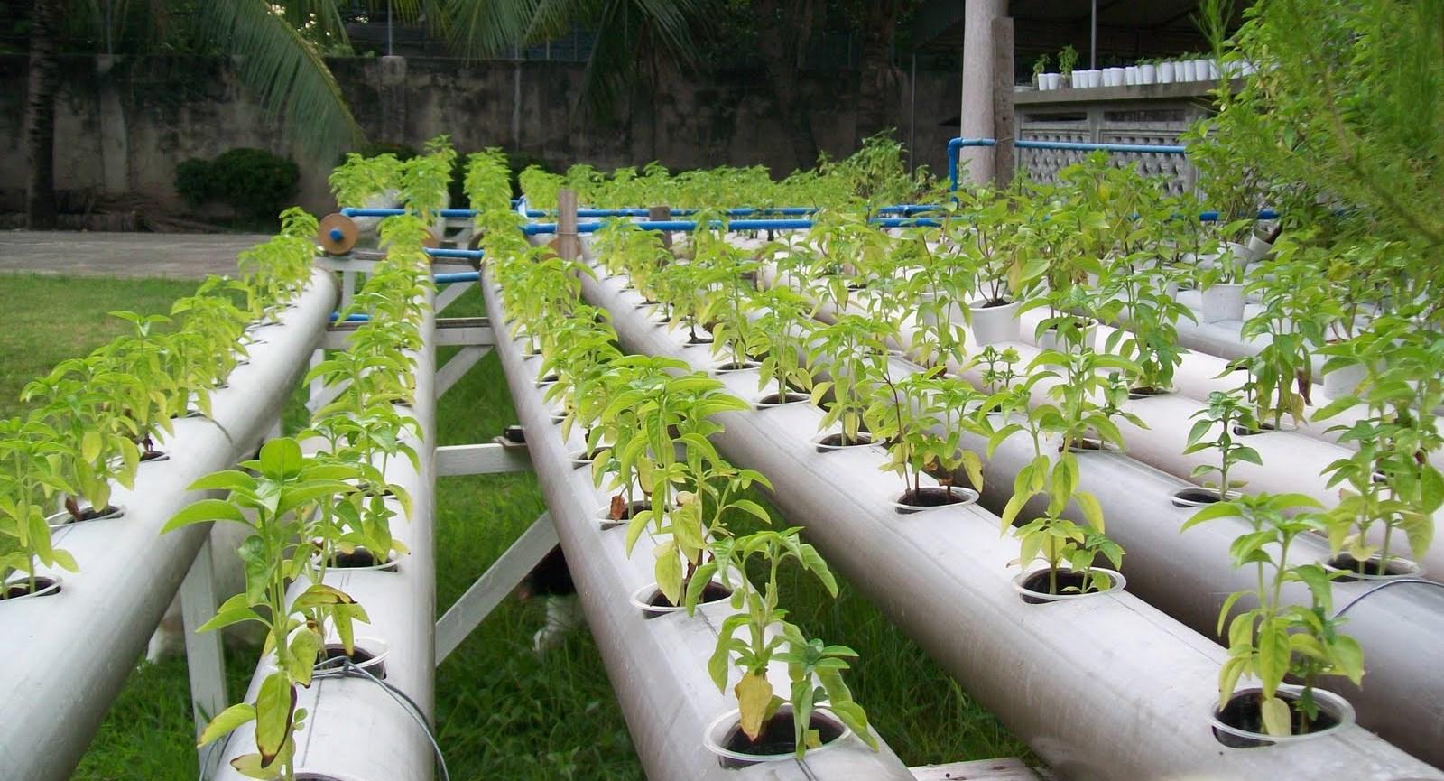 Огурцы - выращивание, посадка, уход. В открытом грунте и 24