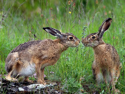 hares italy love picture