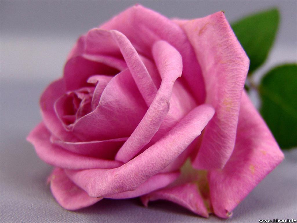 bunga mawar merah muda menggambarkan kebahagiaan namun mawar ini