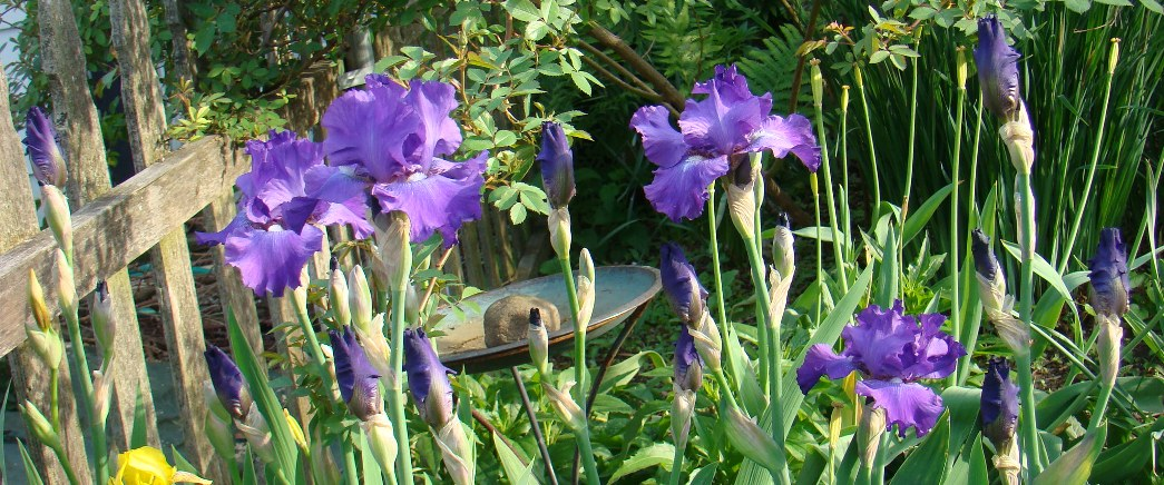 This free picture by the Gastronomic Gardener in his midwest garden shows a panorama of blue irises