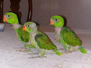 tiga ekor anak Betet - Kelapa Filipina Salvadorii,Burung Paruh Bengkok