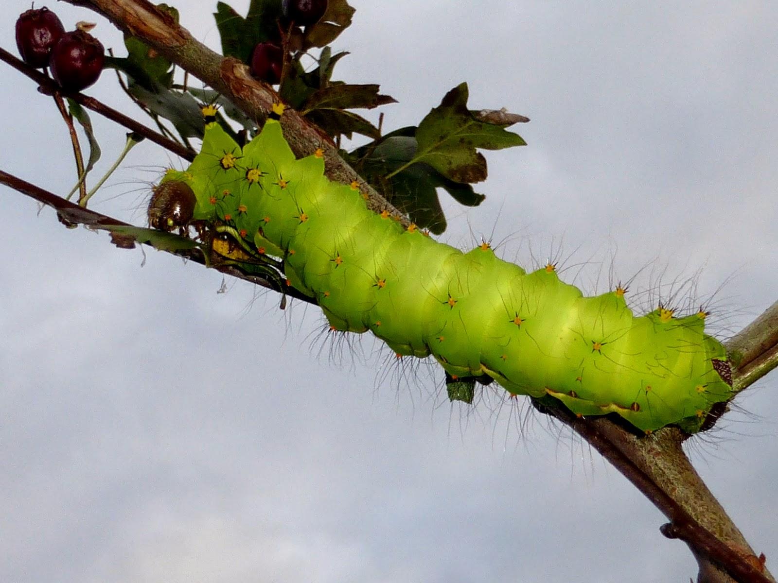 Actias selene caterpillar