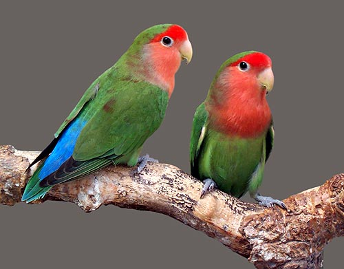 Beautiful Love Birds 9