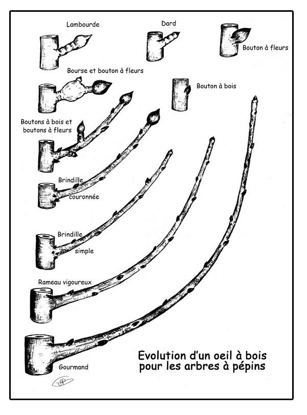 Les secrets de la taille et de la greffe des arbres fruitiers bio la taille - Comment tailler les arbres fruitiers ...