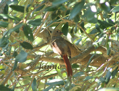 Young Cardinal in Live Oak