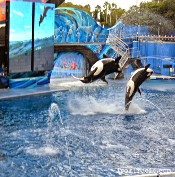 Orcas jumping in the air during SeaWorld show