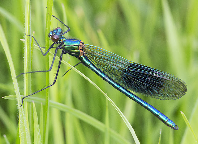 Banded Demoiselle, Calopteryx splendens.  Male.  In a riverside meadow near Leigh on 19 May 2012