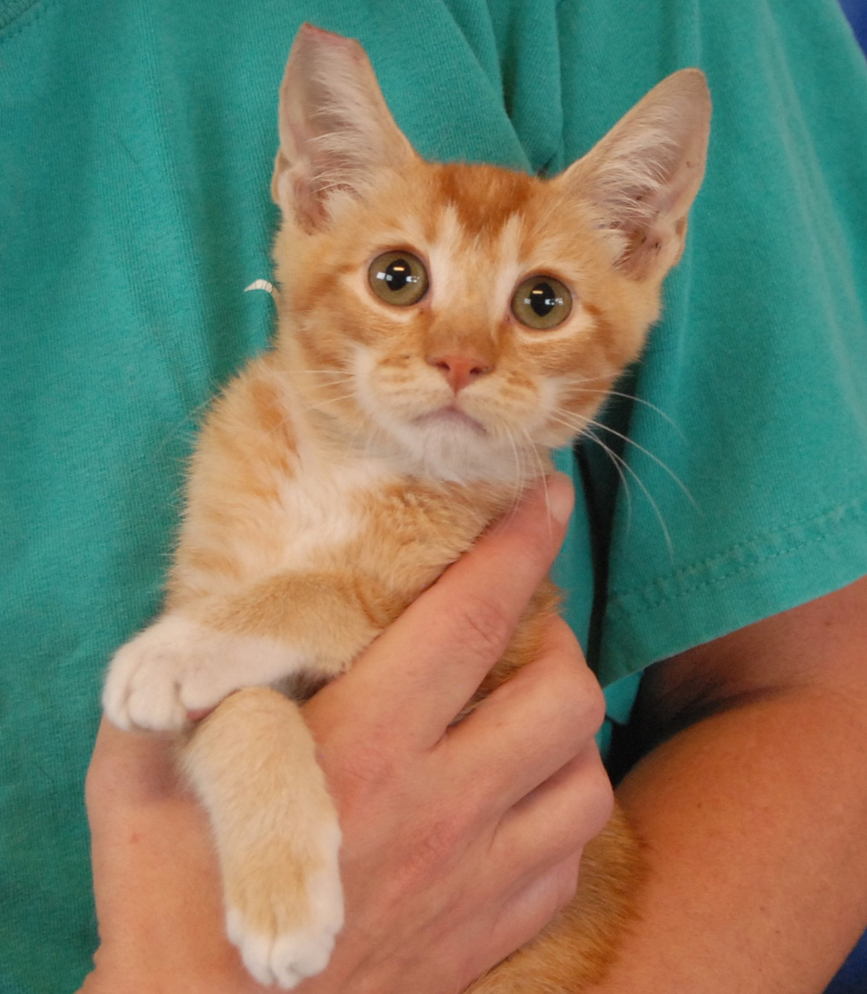 Nevada SPCA Animal Rescue: Mohawk, an affectionate Abyssinian mix ...