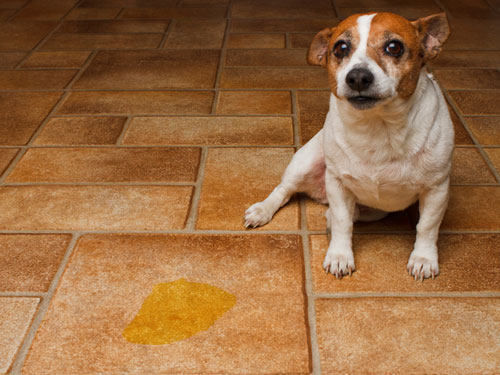 doggy urine