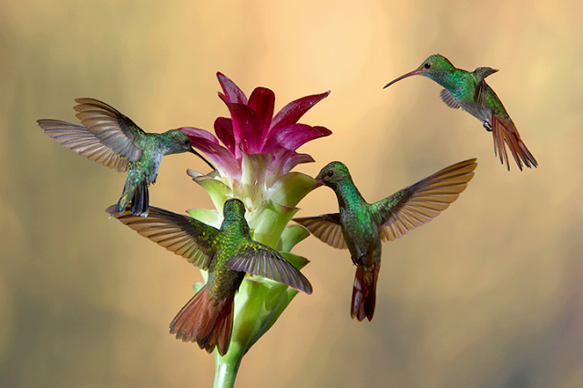 """Hummingbirds towards food: """"Yeah! It's feast time! Party!"""""""