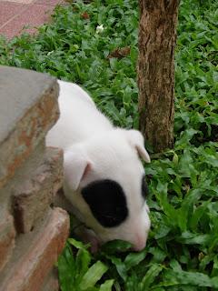 Bull Terirer Panda : ลูกหมูน้อย แพนด้า รายงานตัวครับ