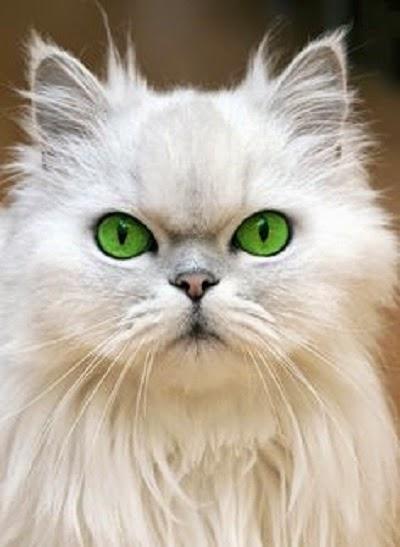 Une Photo chat blanc au yeux vert