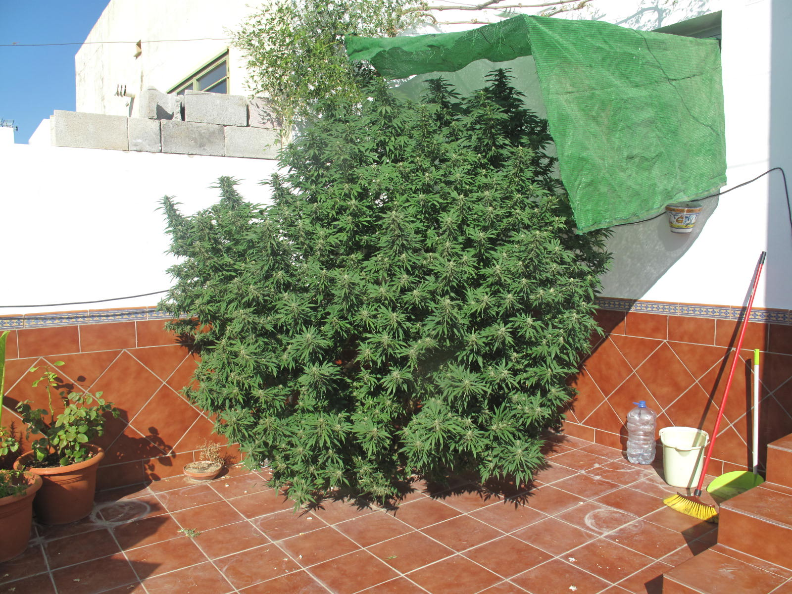 Jefatura de policia local paradas la policia local de for Plantas marihuana interior
