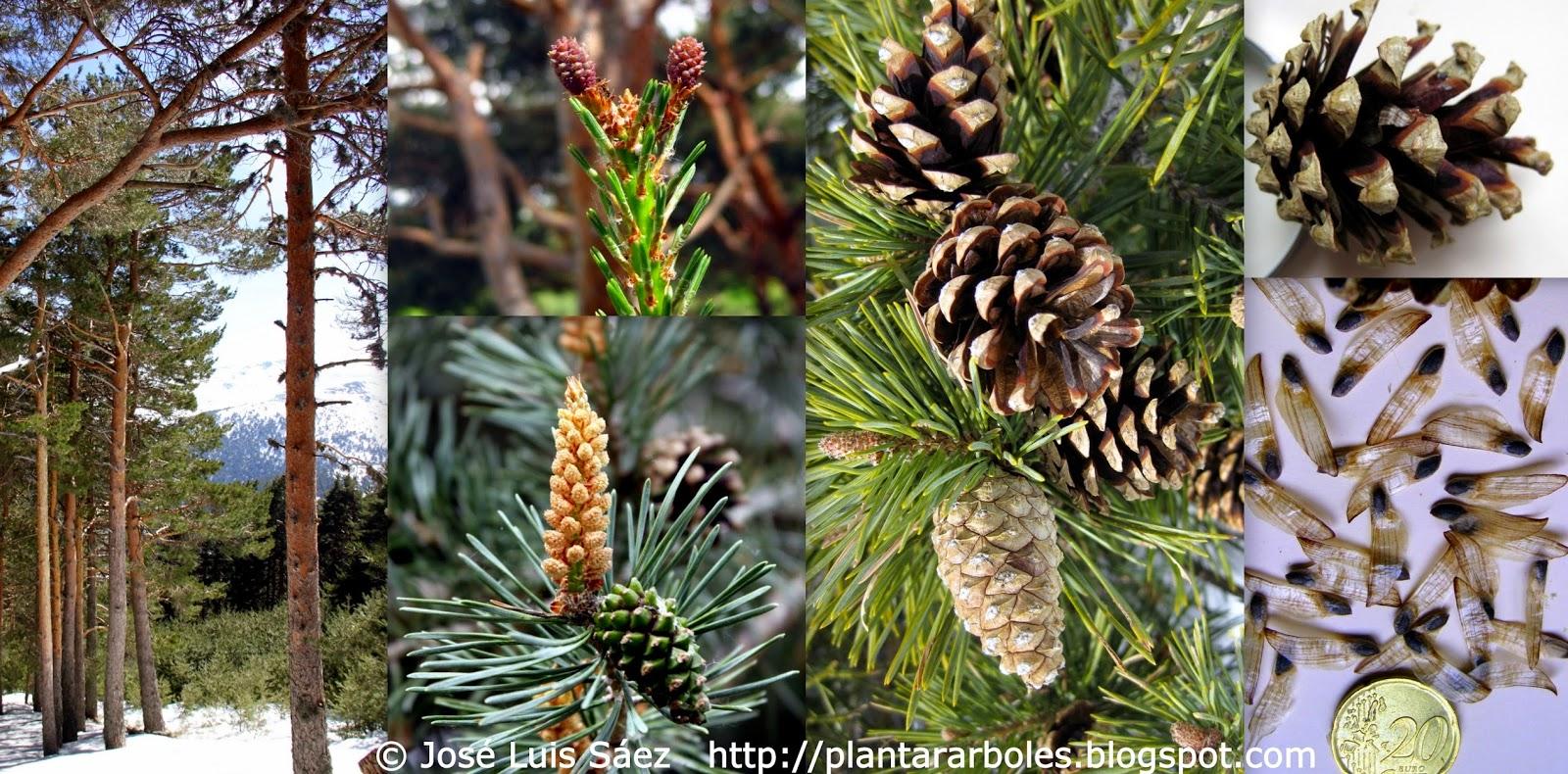 Plantar rboles y arbustos rboles aut ctonos de espa a for Arboles con sus nombres y caracteristicas