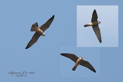 Kabasólyom (Falco subbuteo)