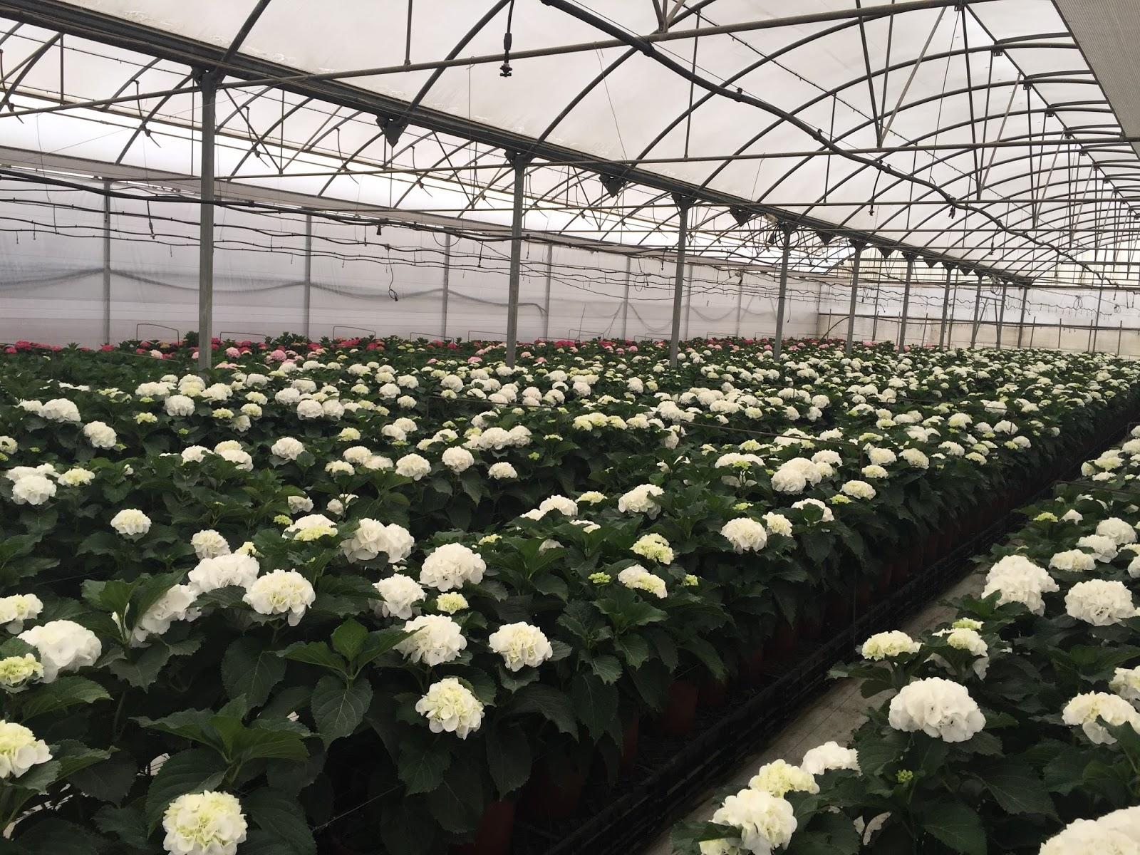 Flores y verdes de chipiona e importaci n for Hortensias cultivo y cuidados