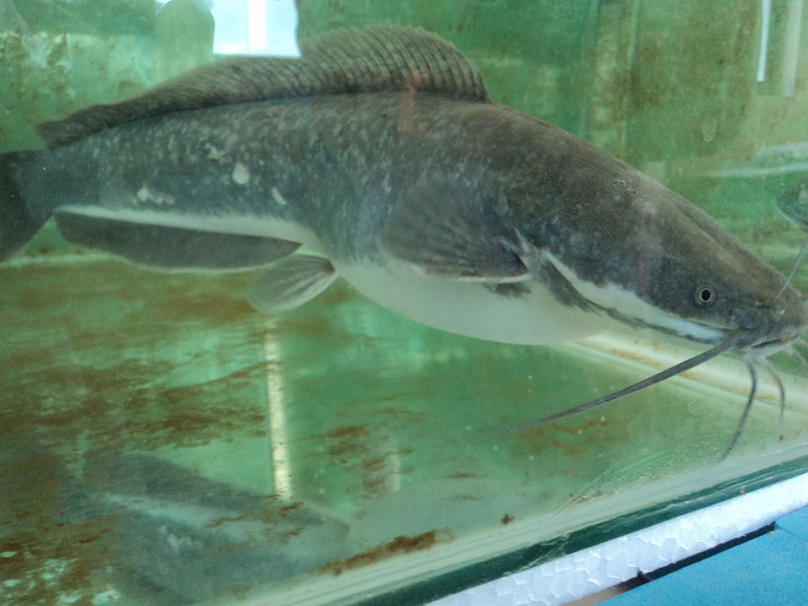 African catfish pictures - photo#14