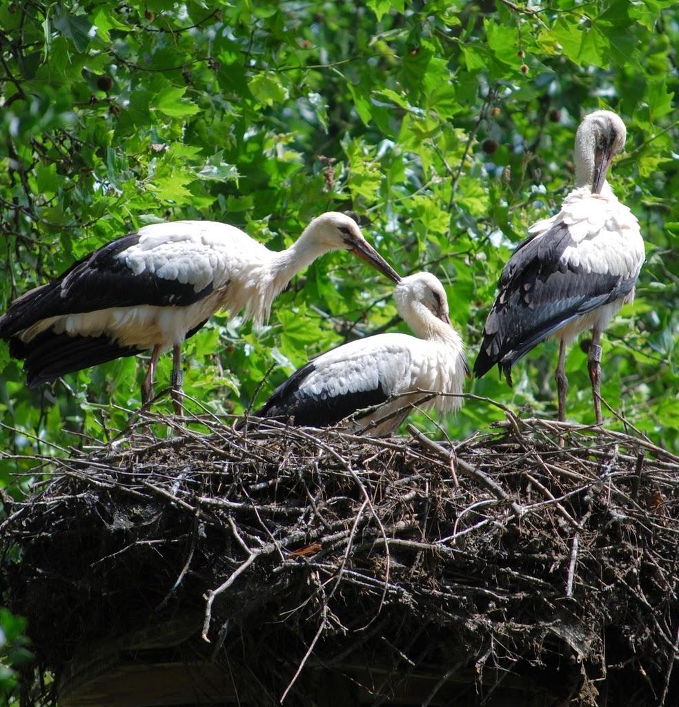 Cegonhas-brancas Parque e zoológico Tierpark Lange Erlen Basel Suíça