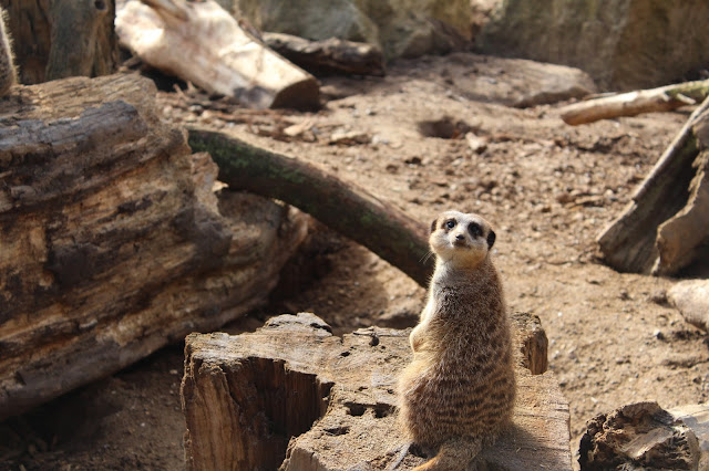 Meerkat Chester Zoo