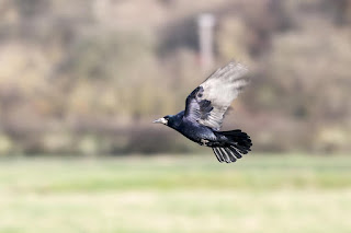 Blown Away - A Rook in flight