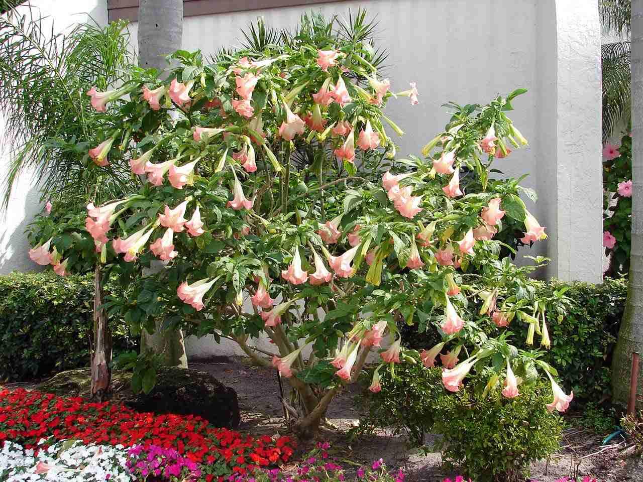Trees Planet Brugmansia suaveolens Angel s Trumpet