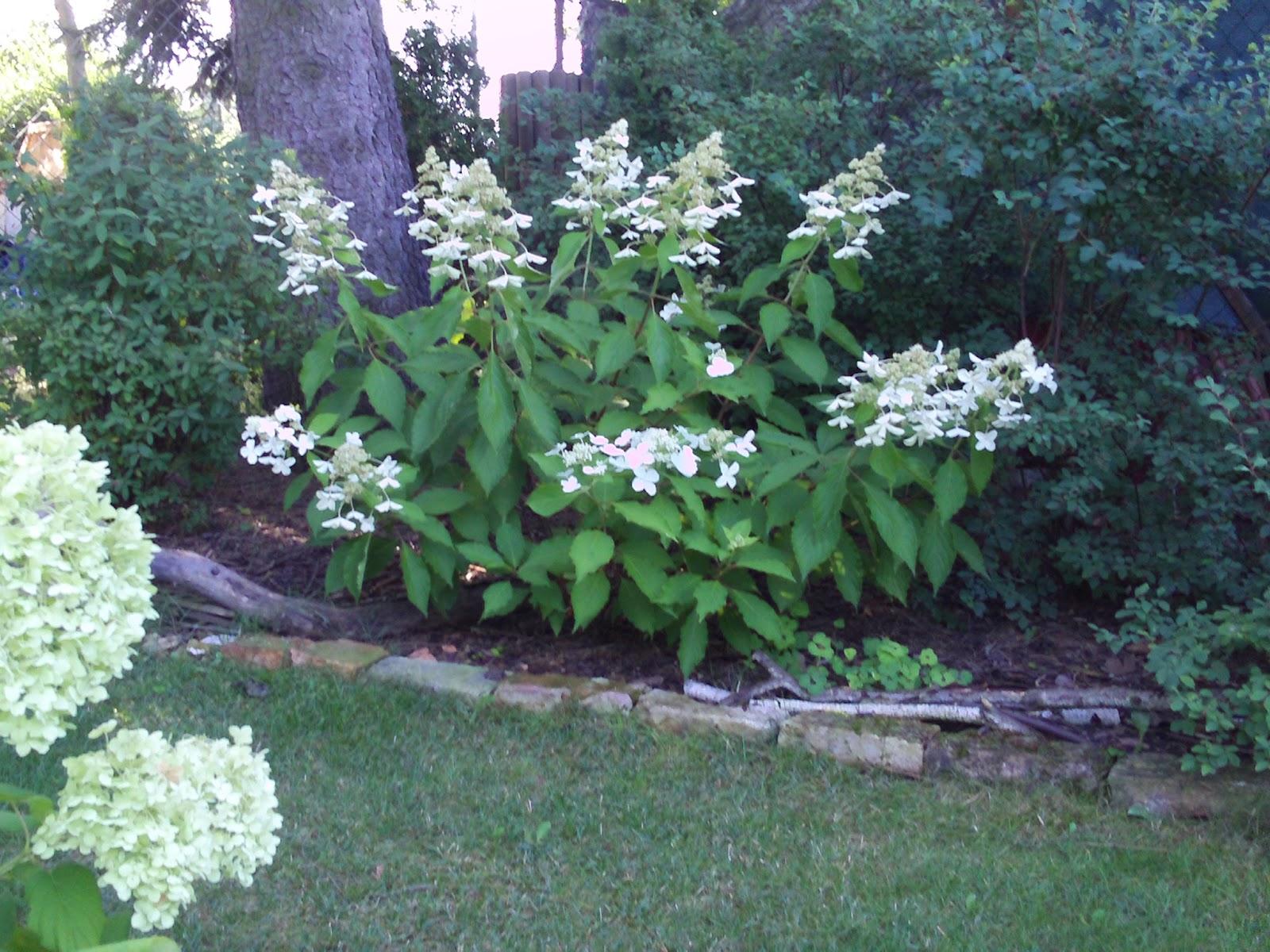 rispenhortensie levana hydrangea paniculata gartenelfe. Black Bedroom Furniture Sets. Home Design Ideas