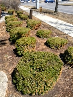 Yews pruned into cubes cylinders by garden muses: not another Toronto gardening blog