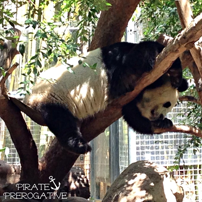 Panda Bai Yun sound asleep in the trees at the San Diego Zoo. Love these animal pics!