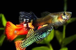 4 Jenis Ikan Hias Yang Hidup Tanpa Pompa Oksigen (Aerator)