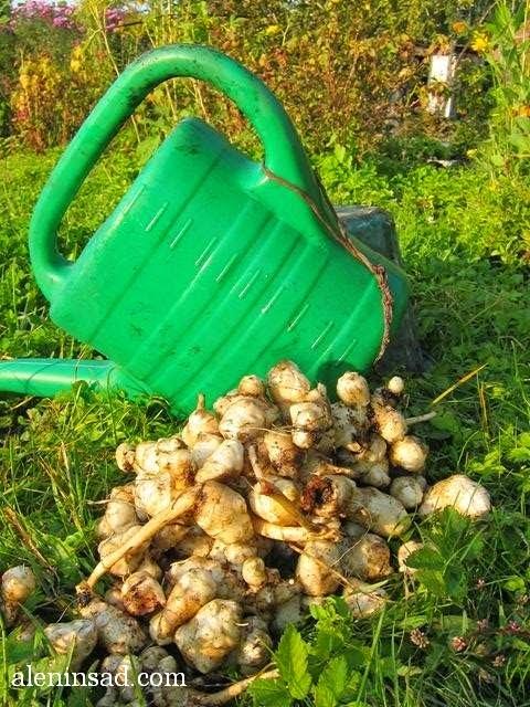 топинамбур, клубни, осенью, употребление, аленин сад