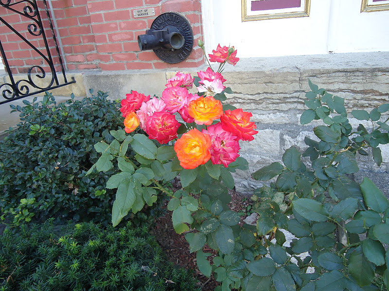 Changes in the wind st joe for Multi colored rose bushes