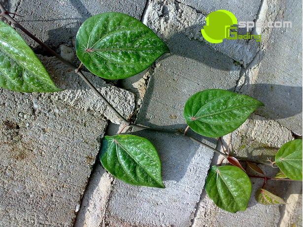 Cara menanam daun sirih merah dengan pot / polybag