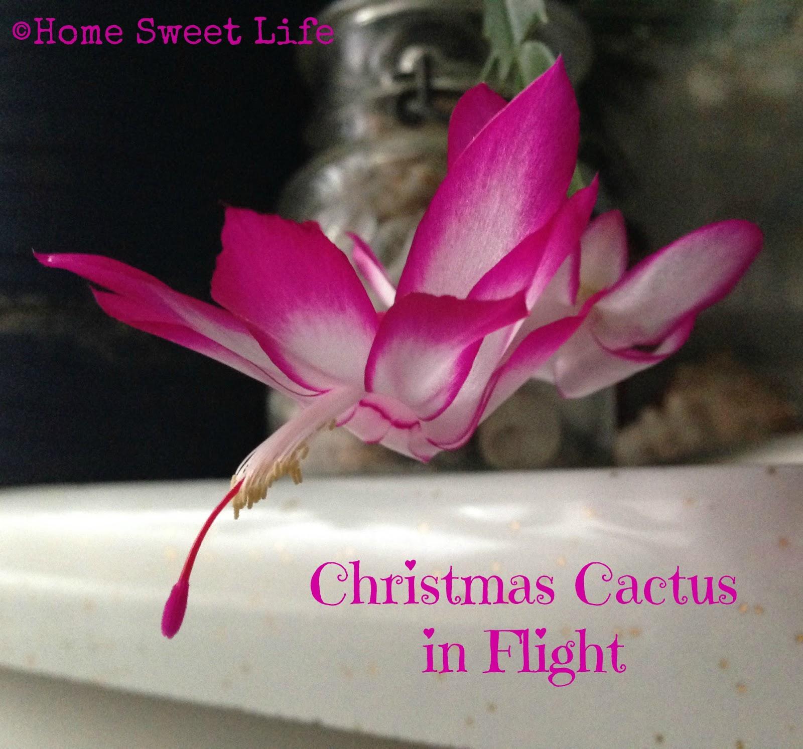 Christmas Cactus, thankfulness