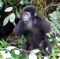 youtube中文版 Brave gorilla小猩猩受不了煩人的蒼蠅