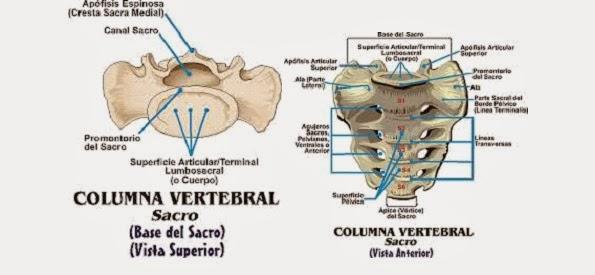 Cráneo y raquis: 2.2.- Artrología
